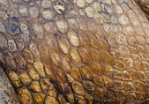 Crocodile skin texture for background — Stock Photo