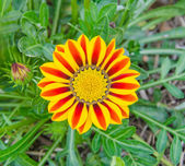 Газания Солнечный цветок — Стоковое фото