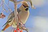 Bright bird Waxwing on a Rowan branch. Winter. — Stock Photo