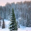 Stock Photo: A beauty spruce in the winter forest.