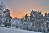 Madera de invierno al atardecer. — Foto de Stock