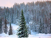 A beauty spruce in the winter forest. — Stock Photo