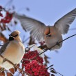 Bright birds Waxwing on a Rowan branch with the red berries. Winter. — Stock Photo #34889783
