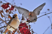 Bright birds Waxwing on a Rowan branch with the red berries. Winter. — Stock Photo