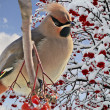 Bright bird Waxwing on a Rowan branch with the red berries. Winter. — Stock Photo