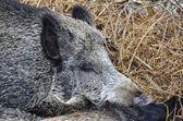 Sweet dream of wild boar — ストック写真