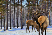 Adult and a small red deers (Cervus elaphus sibiricus) — Stock Photo