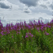 Pink flowers of Rosebay Willowherb — Stock Photo