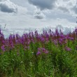Stock Photo: Pink flowers of Rosebay Willowherb