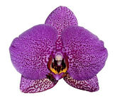 One purple orchid flower — Stock Photo