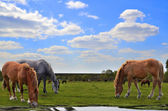 Horses grazing in a meadow — Stock Photo