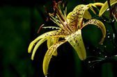 Yellow tiger lily glistening in the sun after the rain — Stock Photo