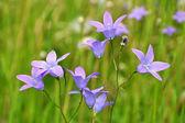 Campanula rotundifolia — Stock Photo