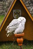Snowy Owl — Stock Photo