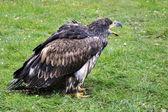 Bald Eagle — Photo