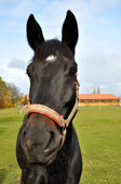 Black hors — Stock Photo
