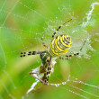 Spider in her spiderweb — Stock Photo #40511581