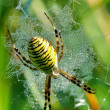 Spider in her spiderweb — Stock Photo #40512427