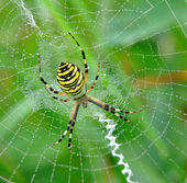 Spider in her spiderweb — Stock Photo