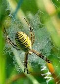 Spider in her spiderweb — Stock Photo