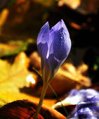 Colchicum autumnale — Stock Photo