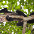 Capuchin Monkey of Costa Rica — Stock Photo