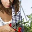 Harvesting a cherry tomatoes — Stock Photo