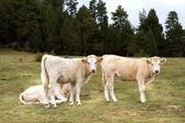牛期待相机 — 图库照片
