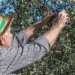 Farmer and olives — Stock Photo