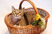 Cute tabby cat, tipical european cat — Стоковое фото