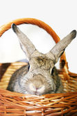 Dwarf rabbit rex (Oryctolagus cuniculus) emerges from a wicker basket — Stock Photo