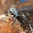 Stock Photo: Large longhorn beelte exploring tree trunk