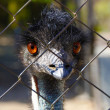 Young emu looks curiously at the camera — Stock Photo #27285593