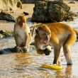Wild monkeys in Krabi, Thailand — Stock Photo