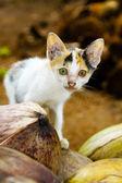 Wild kitten in Java, Indonesia — Stock Photo