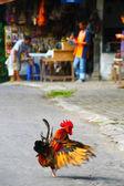 显示了在 java 中,印度尼西亚 cockarel — 图库照片