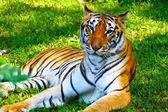 Female tiger resting in a safari park in Java, Indonesia — Stock Photo