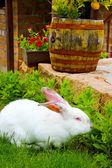 Albino rabbit feeding in a garden — Stok fotoğraf