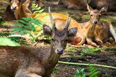 Familia de ciervos marrones descansando en el bosque — Foto de Stock