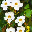 Stock Photo: White milkmaid flowers