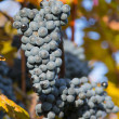 Wine grape — Stock Photo