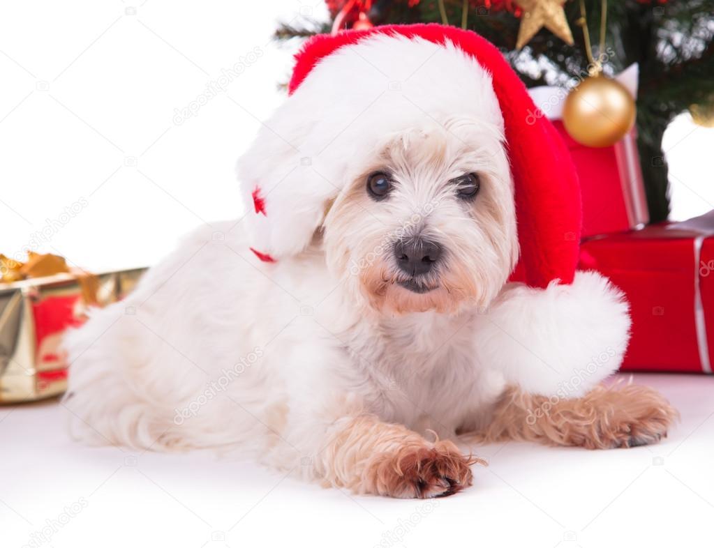 圣诞可爱的白色小狗