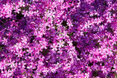 Background of violet flowers — Stock Photo