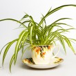 Spider plant in retro tecup — Stock Photo #26661009