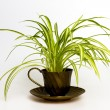Spider plant in retro tea cup — Stock Photo
