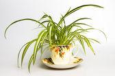Spider plant in retro tea cup — Stock Photo