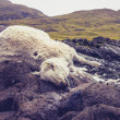 Dead and decomposing sheep in mountain landscape — Stock Photo