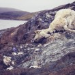 Dead and decomposing sheep near water — Stock Photo