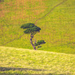 Single tree growing amongst rolling green hills — Stock Photo