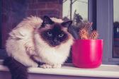 Birman cat sitting on window-sill with cactus — Stock Photo
